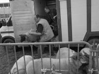 Serge-Philippe-Lecourt-Normandie-Foire-Manche-moutons-vaches-6